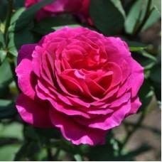 Роза чайно-гибридная Биг Пёпл