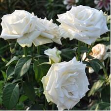 Роза чайно-гибридная Бойнга
