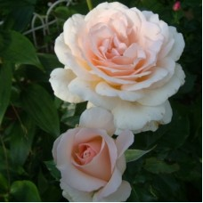 Роза чайно-гибридная Чандос Бьюти (Rose Chandos Beauty)