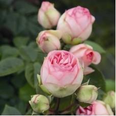 Роза чайно-гибридная Чарминг Пиано (Rose Charming Piano)
