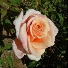 Роза чайно-гибридная Чайлд ов май Харт (Rose Child of my Heart)