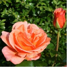 Роза чайно-гибридная Черри Брэнди 85 (Rose Cherry Brandy 85)