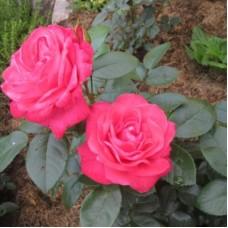 Роза чайно-гибридная Черри Леди (Rose Cherry Lady)