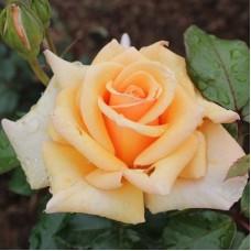 Роза чайно-гибридная Чешире (Rose Cheshire)