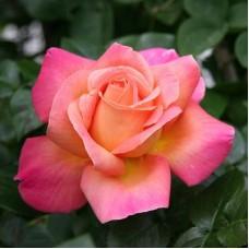 Роза чайно-гибридная Чикаго Пис (Rose Chicago Peace)