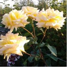 Роза чайно-гибридная Цитрина (Rose Citrina)