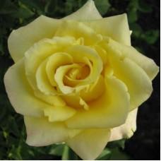 Роза чайно-гибридная Цитрон