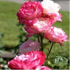 Роза чайно-гибридная Диз