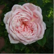 Роза чайно-гибридная Эмезинг Грейс (Rose Amazing Grace)