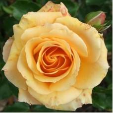 Роза чайно-гибридная Эприкот
