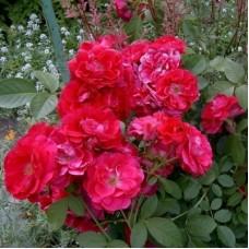 Роза чайно-гибридная Фаджа Лобби (Rose Faja Lobbi)