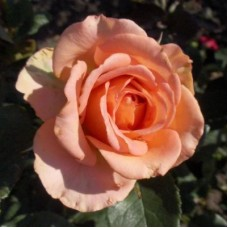 Роза чайно-гибридная Фантазия Мондиаль (Rose Fantasia Mondiale)