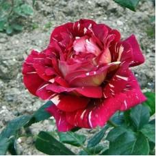 Роза чайно-гибридная Фантазия (Rose Fantasia)