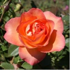 Роза чайно-гибридная Файерест Кейп (Rose Fairest Cape)