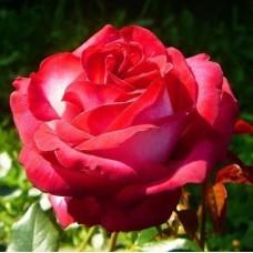 Роза чайно-гибридная Файр Леди (Rose Fair Lady)