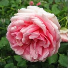 Роза чайно-гибридная Ферст Леди (Rose First Lady)