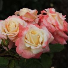 Роза чайно-гибридная Фиджи (Rose Fiji)