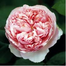 Роза чайно-гибридная Филинг (Rose Feeling)