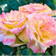 Роза чайно-гибридная Филипп Нуаре