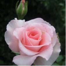 Роза чайно-гибридная Фламинго (Rose Flamingo)