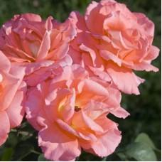Роза чайно-гибридная Фортуна