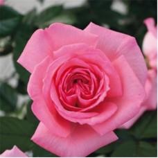 Роза чайно-гибридная Фрагонард (Rose Fragonard)