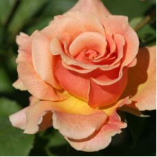 Роза чайно-гибридная Фрагрант Дрим (Rose Fragrant Dream)