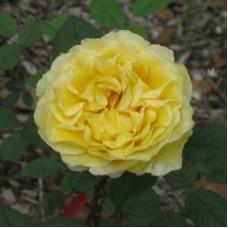 Роза чайно-гибридная Франс Инфо (Rose France Info)