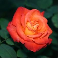 Роза чайно-гибридная Франс Либр (Rose France Libre)