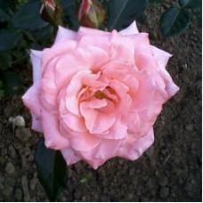 Роза чайно-гибридная Фрайбург II (Rose Freiburg II )