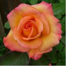Роза чайно-гибридная Фредди Меркьюри (Rose Freddie Mercury)