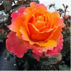 Роза чайно-гибридная Френези (Rose Frenesie)