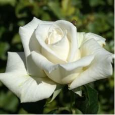 Роза чайно-гибридная Фул Сэйл (Rose Full Sail)