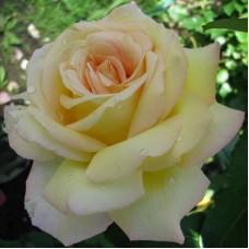 Роза чайно-гибридная Глория Дей (Пис)