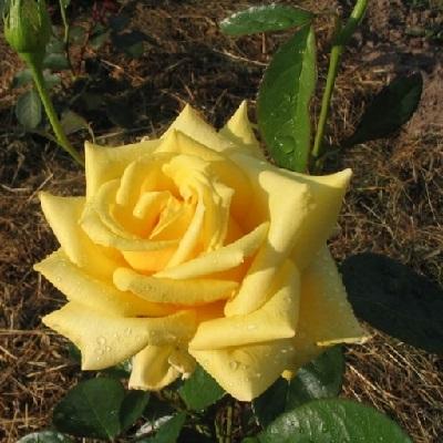 Роза чайно-гибридная Голден Медальон купить саженцы