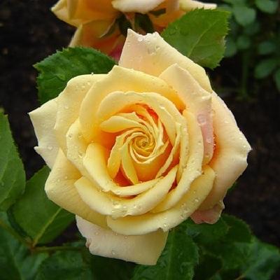 Роза чайно-гибридная Голден Вэдин
