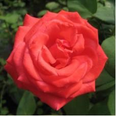 Роза чайно-гибридная Холстенперл