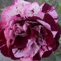 Роза флорибунда Имэджин