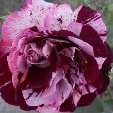 Роза чайно-гибридная Имэджин