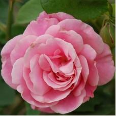 Роза чайно-гибридная Каресс