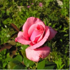 Роза чайно-гибридная Карина