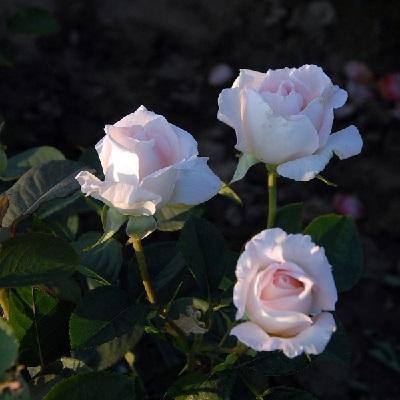 Роза чайно-гибридная Карла