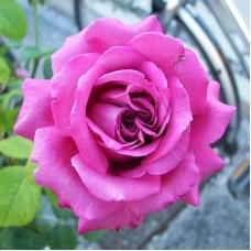 Роза чайно-гибридная Клод Брассер (Rose Claude Brasseur)