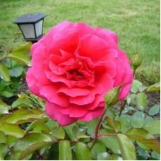 Роза чайно-гибридная Критерион (Rose Criterion)