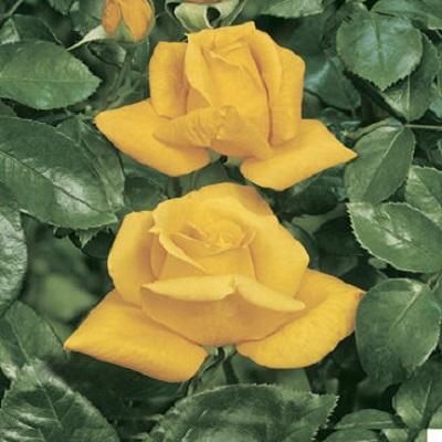 Роза чайно-гибридная Ландора купить саженцы