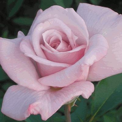 Роза чайно-гибридная Леди Икс