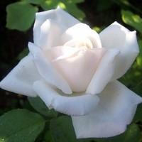 Роза чайно-гибридная Ленип
