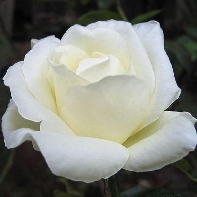 Роза чайно-гибридная Маунт Шаста купить саженцы