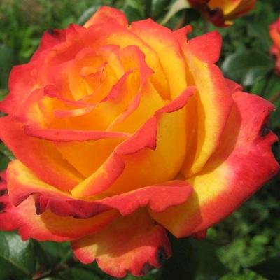 Роза чайно-гибридная Майн Мюнхен