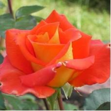 Роза чайно-гибридная Моника